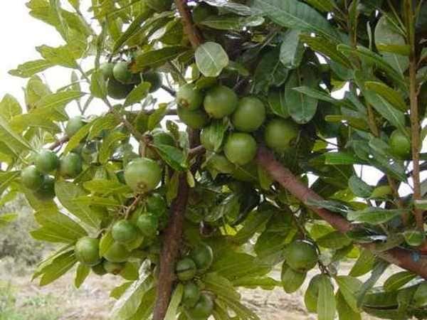 Плодовое дерево лукума