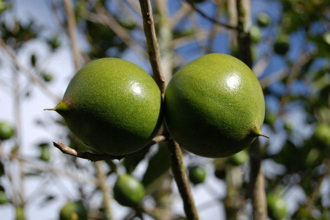 Как растут плоды лукумы?