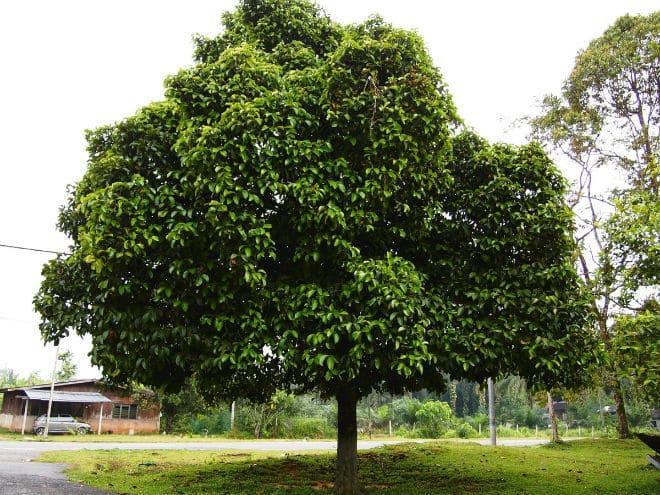 Плодовое дерево мангустин (гарциния)