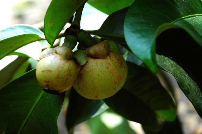 Как растут плоды мангостана?