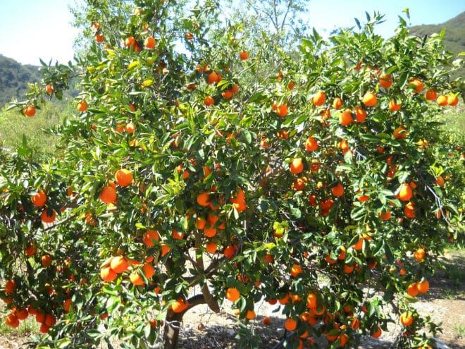 Плодовое дерево минеолы