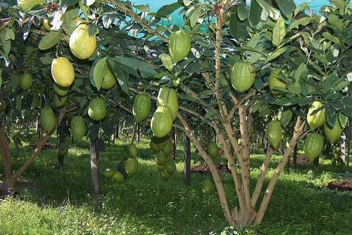 Плодовое дерево цитрон