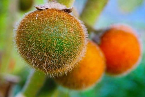 Плоды наранхилья вблизи
