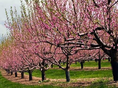 Цветущие деревья нектарина