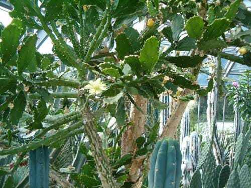 Опунция бразильская (Brasiloopuntia brasilensis)