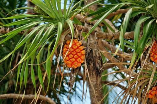 Как растет плод пандана?