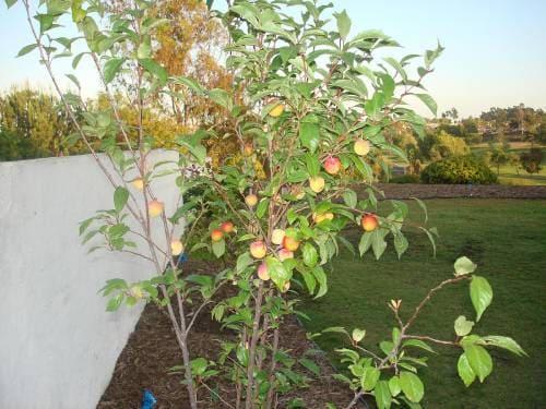 Плодовое дерево плумкот