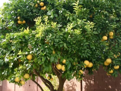 Плодовое дерево помело