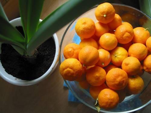 Как выглядят плоды рангпура?