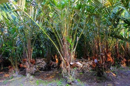 Плодовая пальма салак