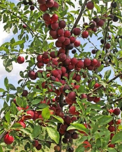 Плодовое дерево шарафуга