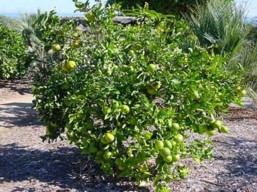 Плодовое дерево оробланко