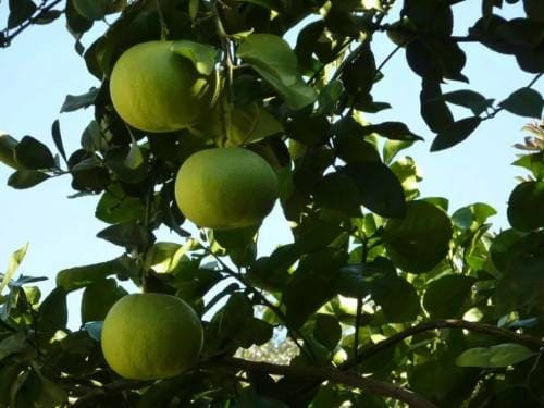 Как растет фрукт помелит?