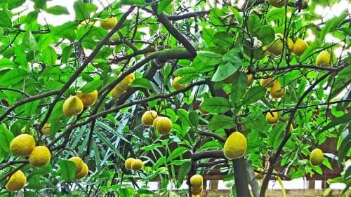 Плодовое дерево бергамот