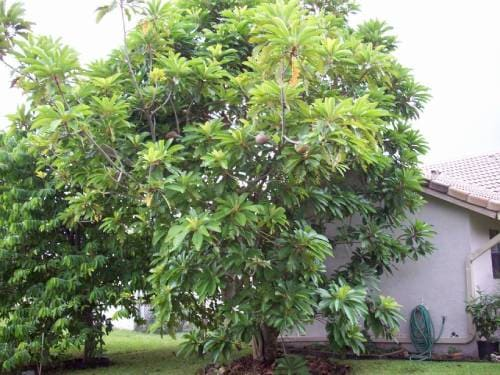 Плодовое дерево черная сапота