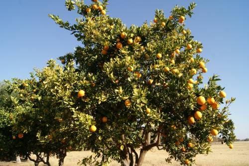 Плодовое дерево склерокария эфиопская