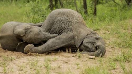 Пьяные слоны после употребления марулы