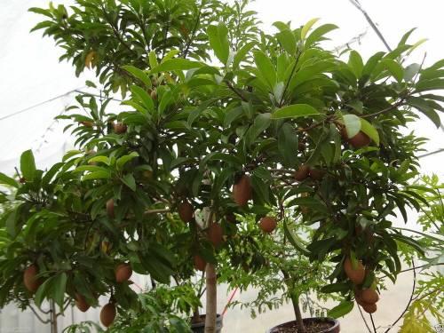 Плодовое дерево саподилла