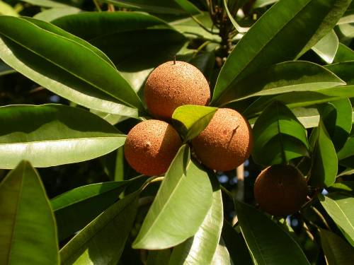 Как растут плоды саподиллы